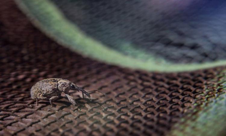 [Link] El gorgojo: la plaga que México y Estados Unidos combaten juntos